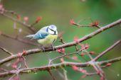 Blue Tit Bird — Stockfoto