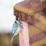 Blue Tit bird at the birdhouse — Stock Photo #72077579