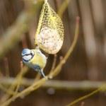 Blue Tit bird hanging at a fat ball — Stock Photo #72529603