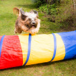 Dog Agility with jumping Tibetan Terrier — Stock Photo #72742693