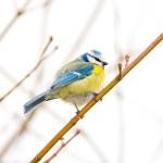 Blue Tit Bird — Stock Photo #78721072