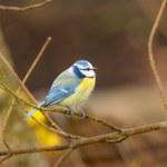 Blue Tit Bird — Stock Photo #78821788