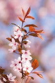 Spring scenic with plum blossoms — Stock Photo
