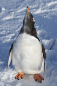Almost completely molted penguin chick Gentoo on snow — Zdjęcie stockowe