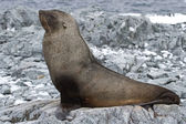 Fur seal which lies on the stones of the rocky island — 图库照片