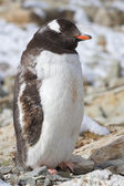 Gentoo penguin adult who molts and stands behind cover — Stock Photo