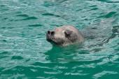 Head crabeater seal swimming in the turquoise water of the Antar — Stock Photo