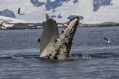 Humpback whale flippers that flips under water — Stockfoto
