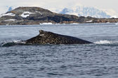 Humpback whale back in the white spots in Antarctic waters — Stock Photo