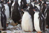 Kindergarten Gentoo penguin colony near — Stock Photo