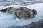 Large female leopard seal lying on ice floe — Stockfoto
