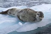 Large female leopard seal lying on ice floe — Stok fotoğraf