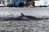 Minke whale two floating along the Antarctic Peninsula — 图库照片