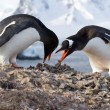 Male and female penguins Gentoo from the nest in the oment trans — Stock Photo #51948739