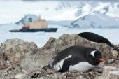Gentoo penguin sitting in the nest and icebreaker in the backgro — Photo