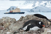 Gentoo penguin sitting in the nest and icebreaker in the backgro — Stock Photo