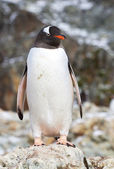 Gentoo penguin which stands on a rock near the colony — Stock Photo