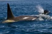 南極海で泳いでいる男性と女性のキラー クジラ — ストック写真