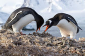 Male and female penguins Gentoo from the nest in the oment trans — Stock Photo