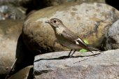 Female collared flycatcherswhich sits on a rock near the water — Stock Photo