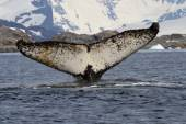 Humpback whale which dives into the Antarctic waters with a rais — Stock Photo