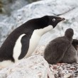 Female Adelie penguins near the nest in which two chicks — Stock Photo #52771357