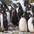 Постер, плакат: Kindergarten Adelie penguin chicks have accumulated near the col