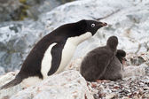 Female Adelie penguins near the nest in which two chicks — Stock Photo