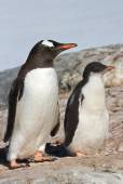 Chick and adult bird Gentoo penguin near the nest — Stock Photo