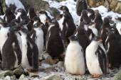 Kindergarten Adelie penguin chicks have accumulated near the col — Stock Photo