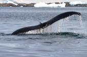 Humpback whale tail at an angle which dives into the waters of t — Stock Photo