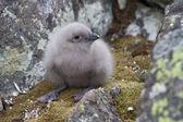 Downy chick South Polar Skua among the rocks near the nest — Stock Photo