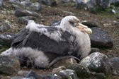 Southern giant petrel chick who sits in the nest — Stock Photo