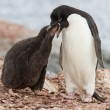 Adelie penguin chicks that feeds near the nest — Stock Photo #53389155