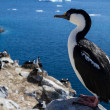 Antarctic blue-eyed cormorant sitting on a rock on a background — Stock Photo #53389157
