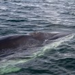 Minke whale's head pop up on the surface of the water — Stok fotoğraf #53389229