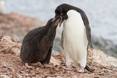 Adelie penguin chicks that feeds near the nest — Stockfoto