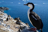 Antarctic blue-eyed cormorant sitting on a rock on a background  — Stockfoto