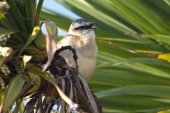 Chalk-browed Mockingbird sitting among the green branches with o — Foto Stock
