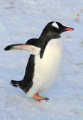 Gentoo penguin that walks in the snow winter day — Stock Photo