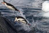 Gentoo penguins jumping into the water from the rock — Stock Photo