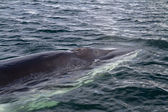 Minke whale's head pop up on the surface of the water — Stockfoto