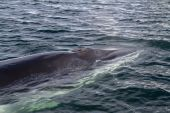 Minke whale's head pop up on the surface of the water — Stock Photo