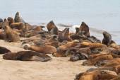 South American sea lions rookery on the beach of the Atlantic Oc — Stock Photo