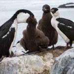 Blue-eyed Antarctic cormorant family at feeding time — Stock Photo #53588907