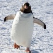 Gentoo penguin walking through the snow on a sunny afternoon — Stock Photo #53588929