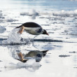 Gentoo penguin leaping above the water and its reflection — Stock Photo #53588933