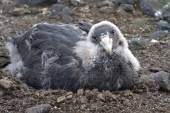 Almost entirely moulting chick southern giant petrel — Stock Photo