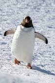 Gentoo penguin walking through the snow on a sunny afternoon — Stock Photo