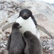 Female and two chicks Adelie penguin sitting in a nest on a summ — Stock Photo #54214881